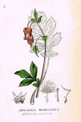 "Baxter's Gardens - ""WATER AVENS 4"" - Hand Colored Engraving - 1833"