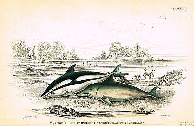 "Jardine Fish Print - Hand-Col'd Copper Eng, - ""STRIPED PORPOISE"" - 1833"