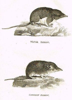 "Shaw's  Zoology - ""WATER & COMMON SHREW"" - Copper Eng. - 1800"