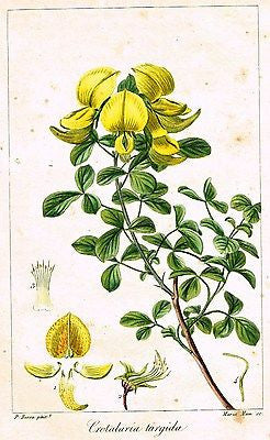 Antique Botanical Print