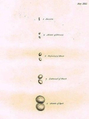 "GROWTH OF SPARROW TESTES  from Palmer's ""Works of John Hunter""-1837"