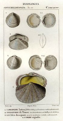 Batelli's Hand-Colored Engraved Seashells -1830- LORIPEDE