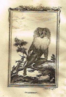 "Buffon's ""Natural History - Monkies"" - ""OUANDEROU"" - Copper Engraving - 1805"