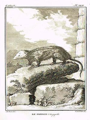 "De Seve's Animals - ""LE SARIGUE A LONGS POILS""- Copper Engraving - 1760"