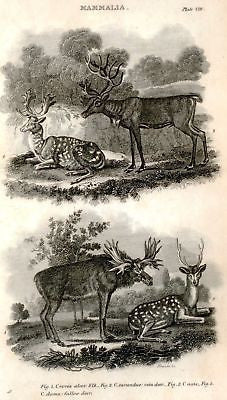 """Animated Nature"" by Goldsmith -1838- DEER & MOOSE - Sandtique-Rare-Prints and Maps"