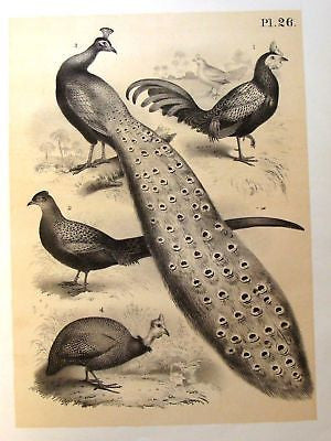 Studer's Birds - 1878 - PHEASANT TURKEY & ROOSTER - Tinted Litho