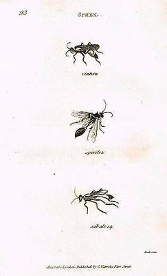BUFFON'S ANTIQUE INSECT PRINT
