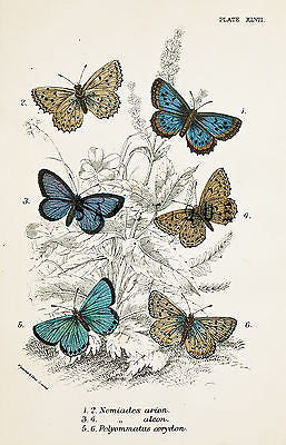 KIRBY BUTTERFLIES - NOMIADES ARION - Chromo - 1896
