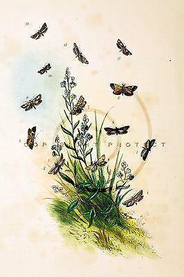 "Humphrey's' ""British Butterflies"" - Plate 59 - Hand-Colored Litho - 1841"