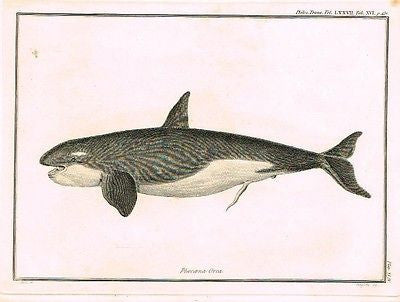 "GRAMPUS FISH (24 FEET)  - from  Palmer's ""Works of John Hunter""-1837"