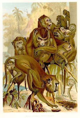 Animate Creation - Chromo -1885- JAVANES MACAQUES - Hess