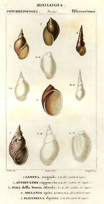ANTIQUE SEASHELL  PRINT