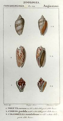 Batelli's Hand-Colored Engraved Seashells -1830- VOLUTA