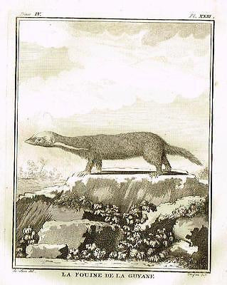 "De Seve's Animals - ""LA FOUINE DE LA GUYANE"" - Copper Engraving - 1760"