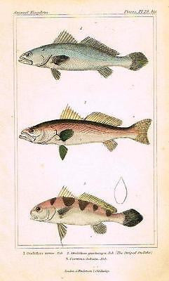 CUVIER'S ANTIQUE FISH PRINT