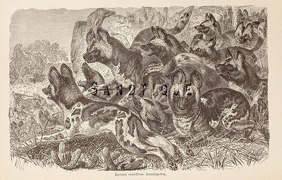 "Wood's ""ANIMATED CREATION"" - Lithograph  -1885- HUNTING DOG"