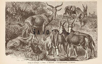 Wood's ANIMATED CREATION - Litho  -1885- GROUP OF ANTELOPES
