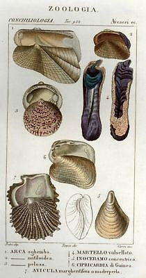 Batelli's Hand-Colored Engraved Seashells  -1830 - ARCA