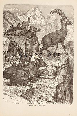 "Wood's ""ANIMATED CREATION"" - Lithograph  -1885- ALPINE IBEX"
