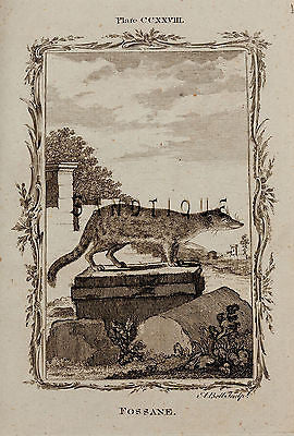 "Buffon's ""Natual History"" - ""FOSSANE"" - Copper Engraving - 1785"