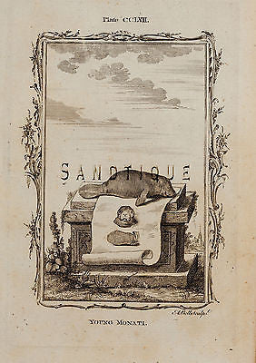 "Buffon's ""Natual History"" - ""YOUNG MONATI"" - Copper Engraving - 1785"