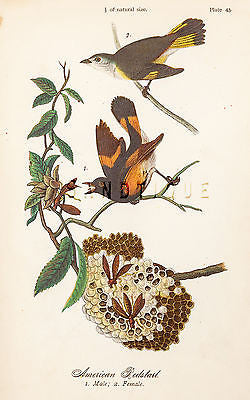 "Warren's ""Birds of Pennsylvania"" - ""AMERICAN REDSTART"" - Chromo -1888"
