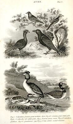 """Animated Nature"" by Goldsmith -1838- BIRDS - GREBE - Sandtique-Rare-Prints and Maps"