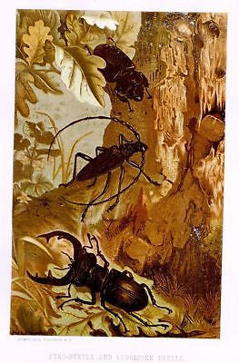 Prang's Insects - Chromolithograph - 1898 - STAG BEETLE