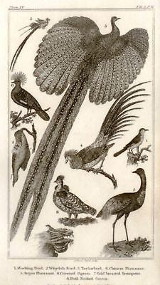 Bingley's Animals - 1820 - PHEASANT, TRUMETER & PIGEON