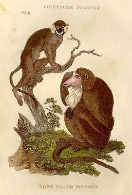 Shaw's General Zoology - 1800 - LONG-NOSED MONKEY