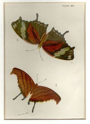 Kirby's Butterflies -1896- THE STRAW MAY FRITILLARY - Chromo