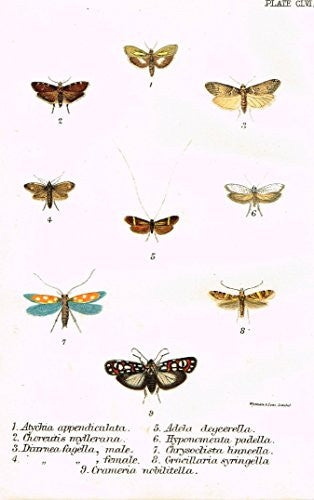 "Kirby's Butterfies & Moths - ""ATYCHIA - Plate CLVI"" - Chromolithogrpah - 1896"