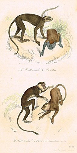 "Buffon's Book of Birds - ""MONKIES - LE CALLITRICHE"" - Hand-Colored Steel Engraving - 1841"