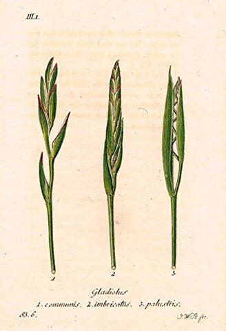"Strum's Flowers - ""GLADIOLUS"" - Miniature Hand-Colored Engraving - 1841"