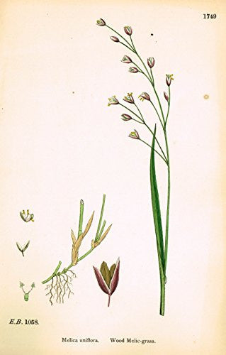 "Sowerby's English Botany - ""WOOD MELIC GRASS"" - Hand-Colored Litho - 1873"