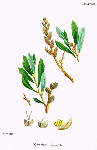 "Sowerby's English Botany - ""BOG MYRTLE"" - Hand-Colored Litho - 1873"