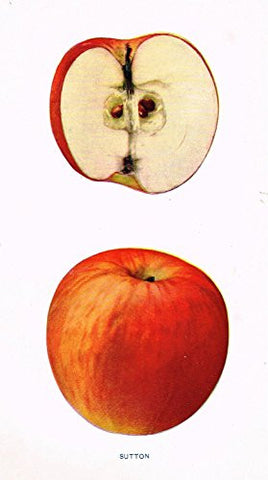 "Beach's Apples of New York - ""SUTTON"" - Lithograph - 1905"