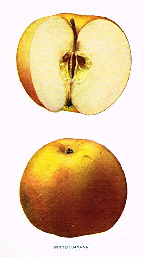 "Beach's Apples of New York - ""WINTER BANANA"" - Lithograph - 1905"