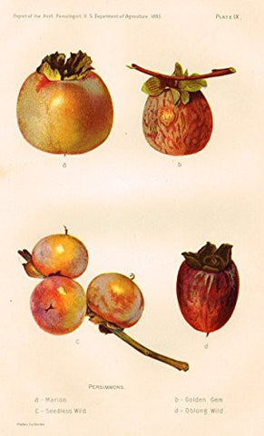 Pomologist's Report - USDA - PERSIMMONS - Chromolithograph - 1893