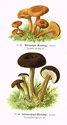 Schmalfub's Mushrooms - WASSERIGER MILCHLING - Coloured Lithograph - 1897