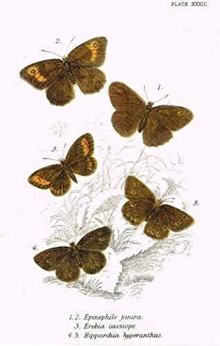 "Kirby's Butterfies & Moths - ""EPINEPHILE - Plate XXXIII"" - Chromolithogrpah - 1896"