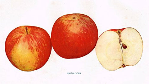 "Beach's Apples of New York - ""SMITH CIDER"" - Lithograph - 1905"