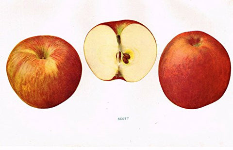 "Beach's Apples of New York - ""SCOTT"" - Lithograph - 1905"
