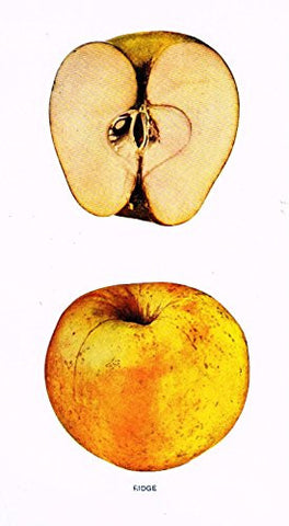 "Beach's Apples of New York - ""RIDGE"" - Lithograph - 1905"