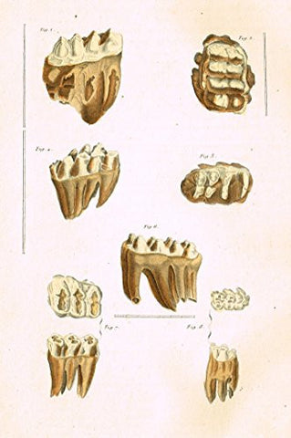 "Buffon's Book of Birds - ""ANIMAL TEETH"" - Hand-Colored Steel Engraving - 1841"
