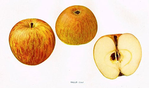 "Beach's Apples of New York - ""RALLS (GENET)"" - Lithograph - 1905"
