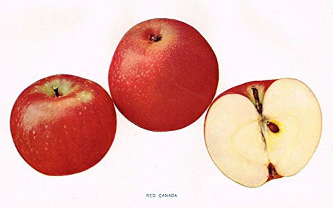 "Beach's Apples of New York - ""RED CANADA"" - Lithograph - 1905"