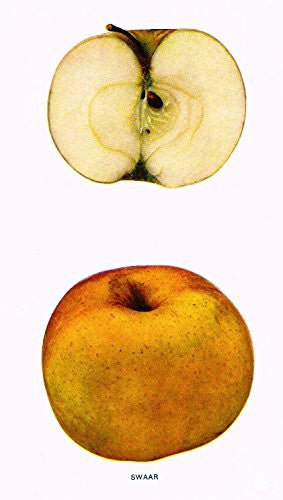 "Beach's Apples of New York - ""SWAAR"" - Lithograph - 1905"