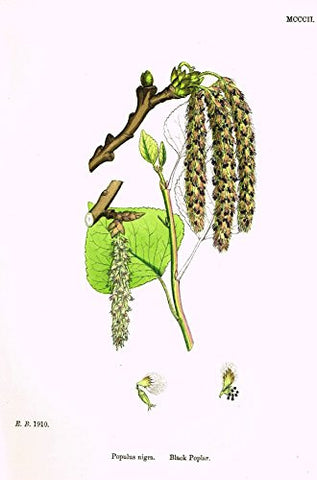 "Sowerby's English Botany - ""BLACK POPLAR"" - Hand-Colored Litho - 1873"