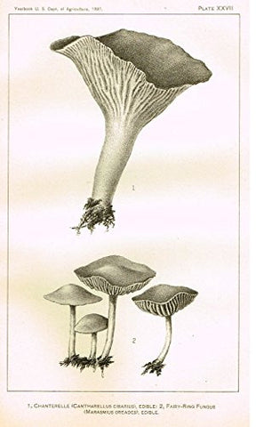 "U.S.D.A. Yearbook Mushrooms - ""FAIRY-RING FUNGUS - EDIBILE"" - Lithograph - 1897"